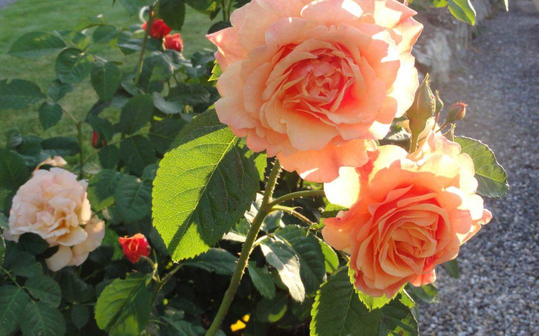 Wir haben Rosenwochen